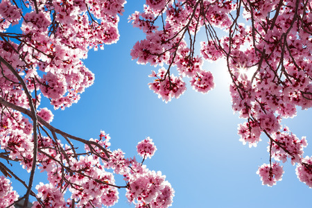 Spring tree with pink flowers against blue sky 版權商用圖片