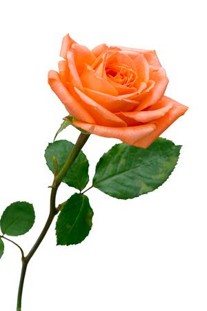 orange rose: Orange rose isolated on white background Stock Photo