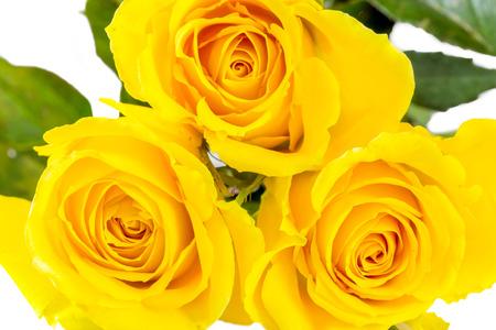 yellow roses: Yellow roses Stock Photo