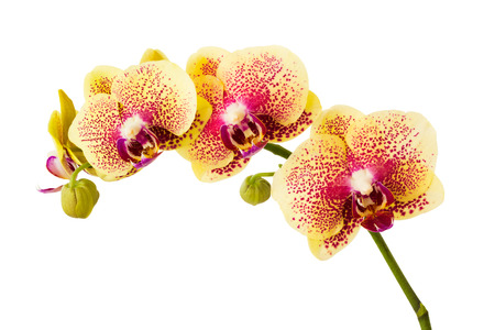 yellow orchid: Orchid isolated on white background.