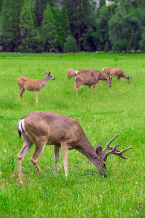 Deers on green meadow.