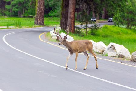 white tail deer: Deer crossing the street.
