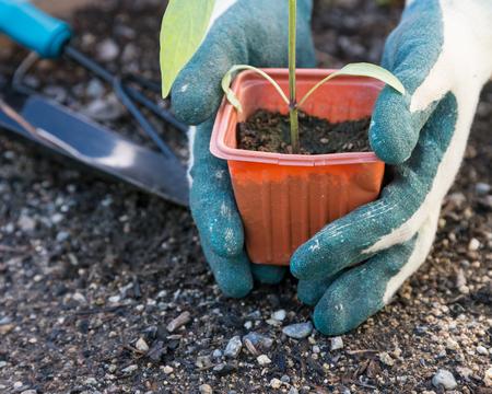 plant hand: Planting vegetable in garden Stock Photo