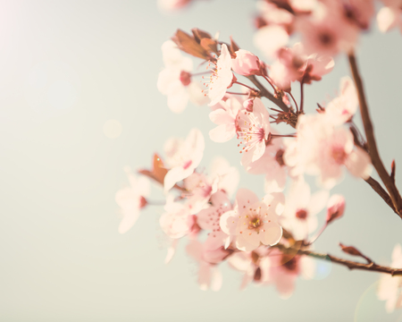 pink skies: Spring tree blossom