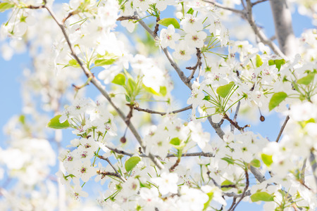 tree branch: Spring tree with white flowers against blue sky Stock Photo