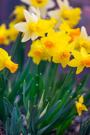 yellow blossom: Yellow narcissus spring blossom