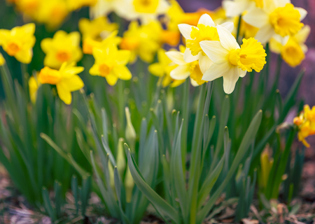 beautiful flowers: Yellow narcissus spring blossom