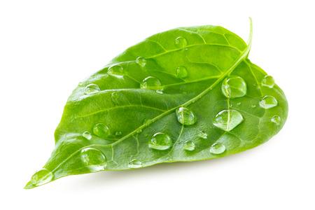 gota: Hoja verde con gotas de agua sobre el fondo blanco Foto de archivo