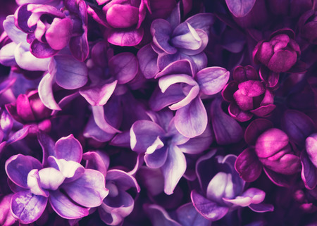 lilac flowers: Lilac flowers background