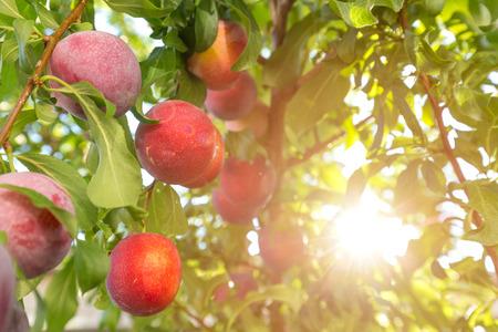 ciruela: Ciruelo con frutas en la luz del sol Foto de archivo
