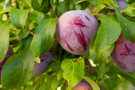 plum tree: Plum tree with fruits