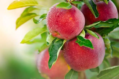 albero da frutto: Apple tree with red apples Archivio Fotografico