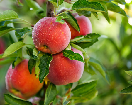 Apple tree with red apples Stock Photo - 63955272