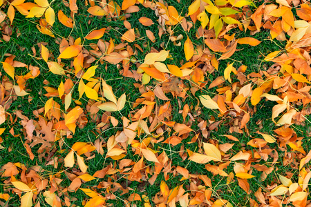 fall of the leafs: Colorful fall leafs on green grass background