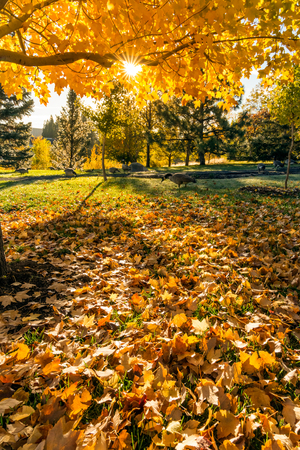 fall of the leafs: Fall tree leafs on grass in sunlight background Stock Photo