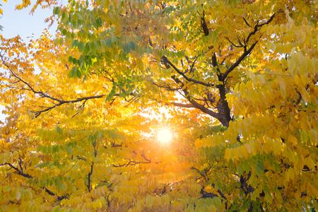 autumn colour: Autumn tree background