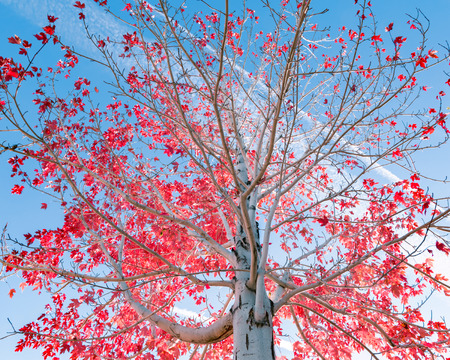 autumn colour: Tree with red leafs in fall against blue sky