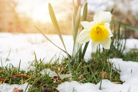 Narcissus in late spring snow Stok Fotoğraf - 71942941