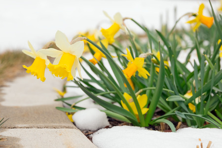 budding: Daffodils in late spring snow Stock Photo