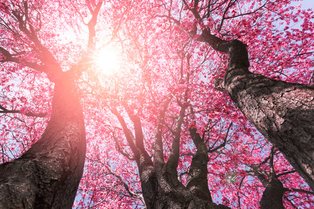 Rbol con flores de color rosa en primavera Foto de archivo - 74089541