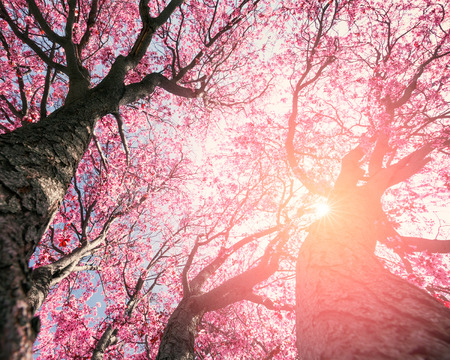 cherry tree: Tree with pink flowers in spring
