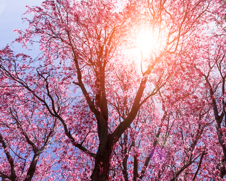 Tree with pink flowers in spring