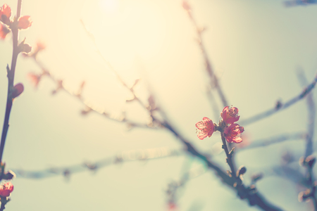 tree branch: Flowering fruit tree branches with pink flowers in sunlight