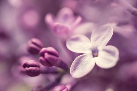 flores moradas: Purple lilac flowers background