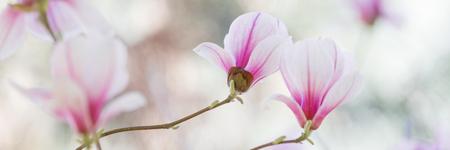 pink flowers: Magnolia flowers spring blossom