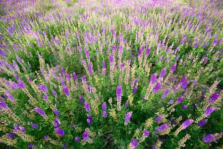 blooming  purple: Wildflowers meadow Stock Photo