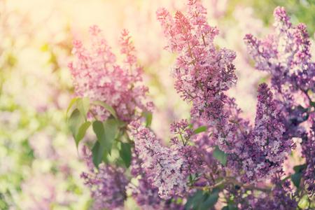 fondos violeta: Purple lilac flowers blossom