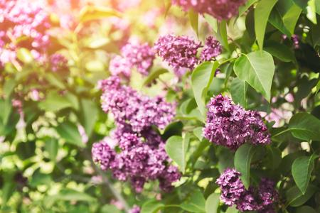 fondos violeta: Lila púrpura florece las flores