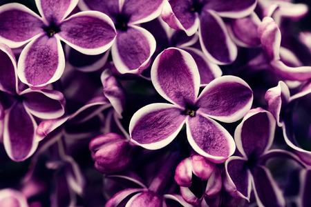 blooming  purple: Purple lilac flowers blossom