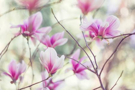 flores moradas: Magnolia flores flor de primavera
