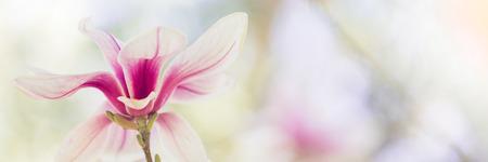Magnolia flowers spring blossom