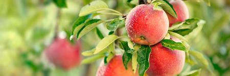 manzano con manzanas rojas