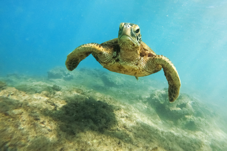Green sea turtle above coral reef underwater photograph