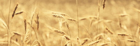 Golden wheat field in sunny day agriculture area