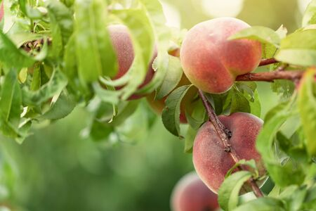 Peach tree fruits on branches