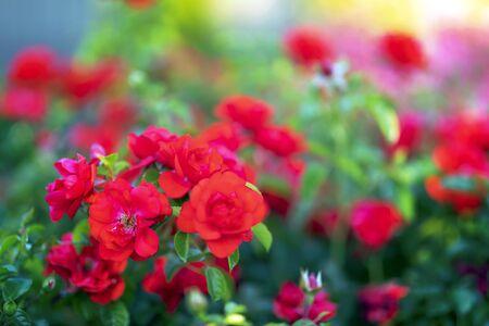 red roses in the garden Reklamní fotografie