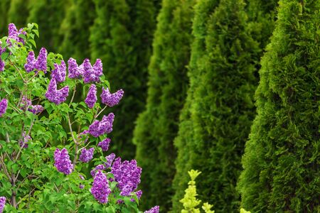 Purple lilac flowers with green thujas in garden Reklamní fotografie