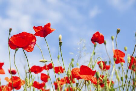 Amapolas rojas en el soleado cielo azul