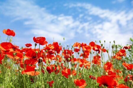 Red poppy flowers on sunny blue sky