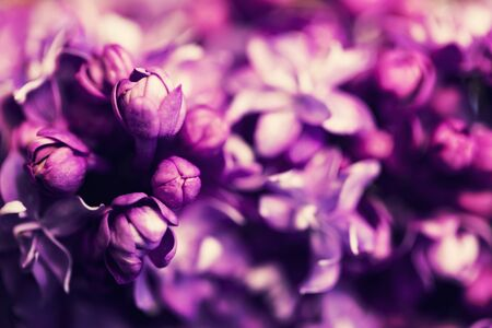 Purple lilac flowers in blossom close-up