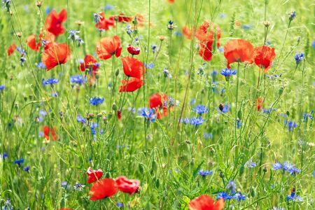 Green meadow with poppy flowers Reklamní fotografie