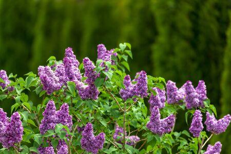Purple lilac flowers spring blossom