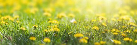 sunny flower field of dandelions, spring blossom