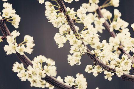 White tree flowers, spring blossom