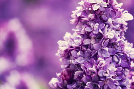 Purple lilac flowers blossom in garden