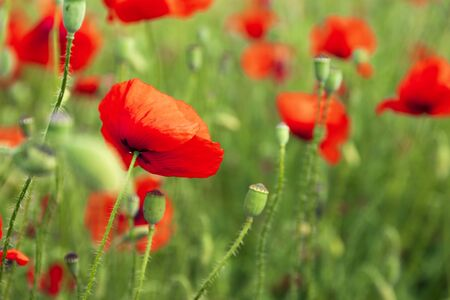 green meadow with red poppy flowers